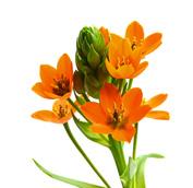 Ornithogalum-Orange.jpg