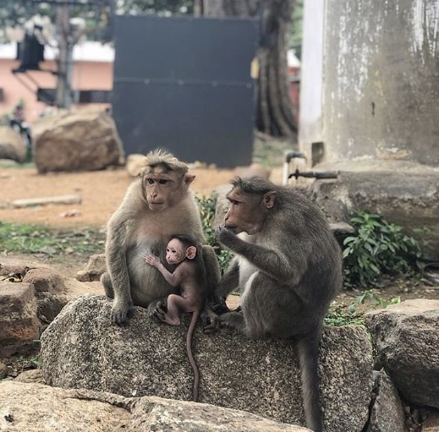 When walking around the streets of India, it's not uncommon to bump into these furry friends. Monkeys are always fun to spot, especially for those of us who don't consider them a usual encounter in our home countries, and they make for a great photo op. Make sure to always keep a safe distance though, especially if their babies are around. 🐒🐒🐒 ⠀ 📷: #SLVGlobal volunteer @michaelwilliammm who is currently on the Mental Health Placement in #SLVIndia 🇮🇳⠀ #monkey #india #volunteers #mentalhealthplacements #psychologyworkexperience #throwbackthursday