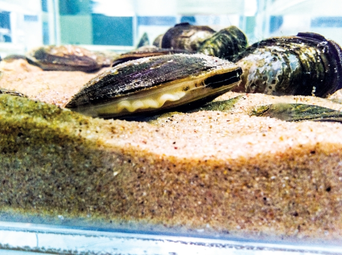 WATER CLEANERS  This threatened mussel species ( Anodonta californiensis ) could gobble up  Escherichia coli  from contaminated urban lakes.