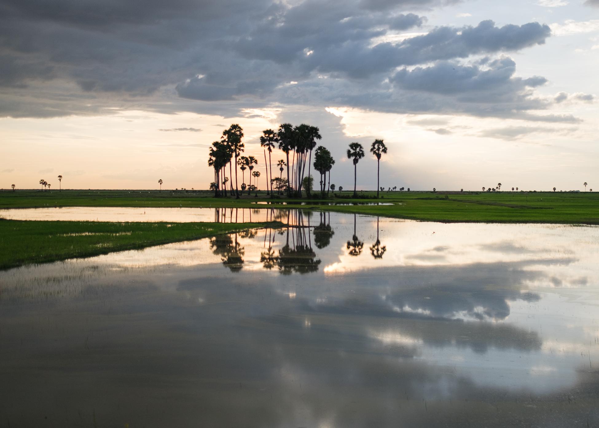 Palm Trees, Cambodia, 2015