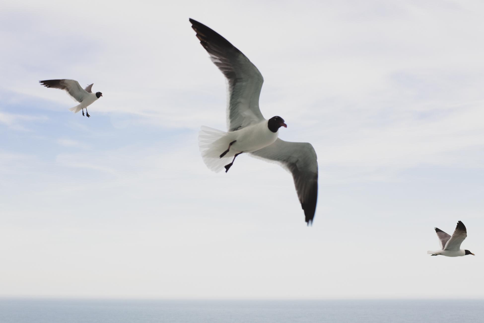 Seagulls, Maryland, 2015
