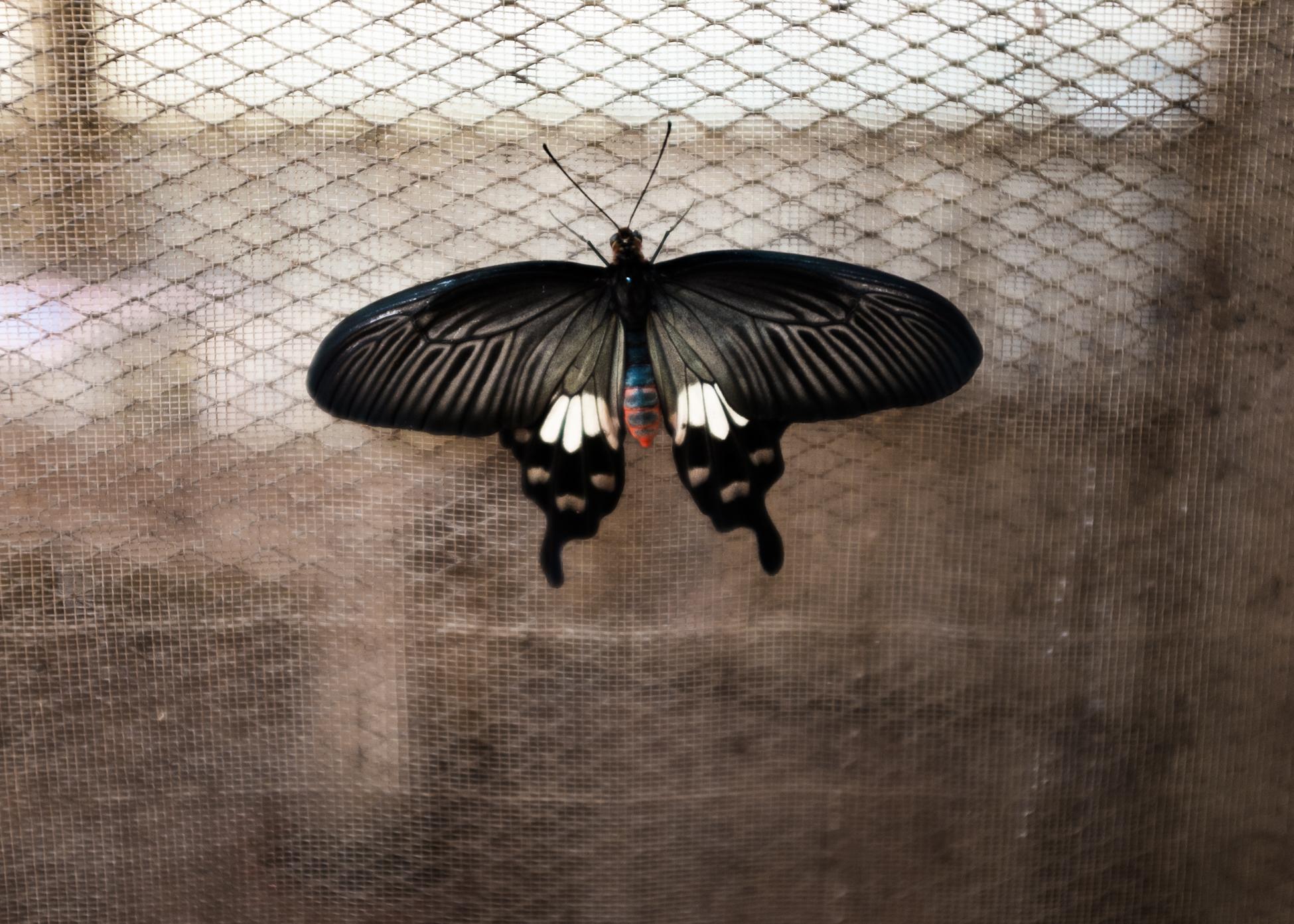 Escape Butterfly, Cambodia, 2015