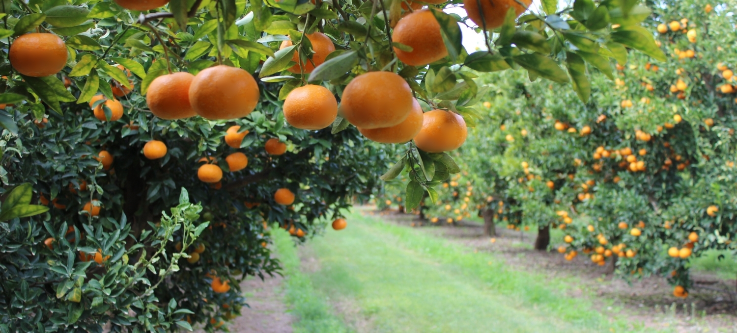 Welcome to Abbotsleigh Citrus   Growers and packers of premium produce   PLAY VIDEO