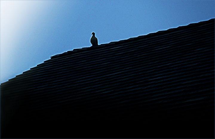 18_###Roof Top Dove copy.jpg