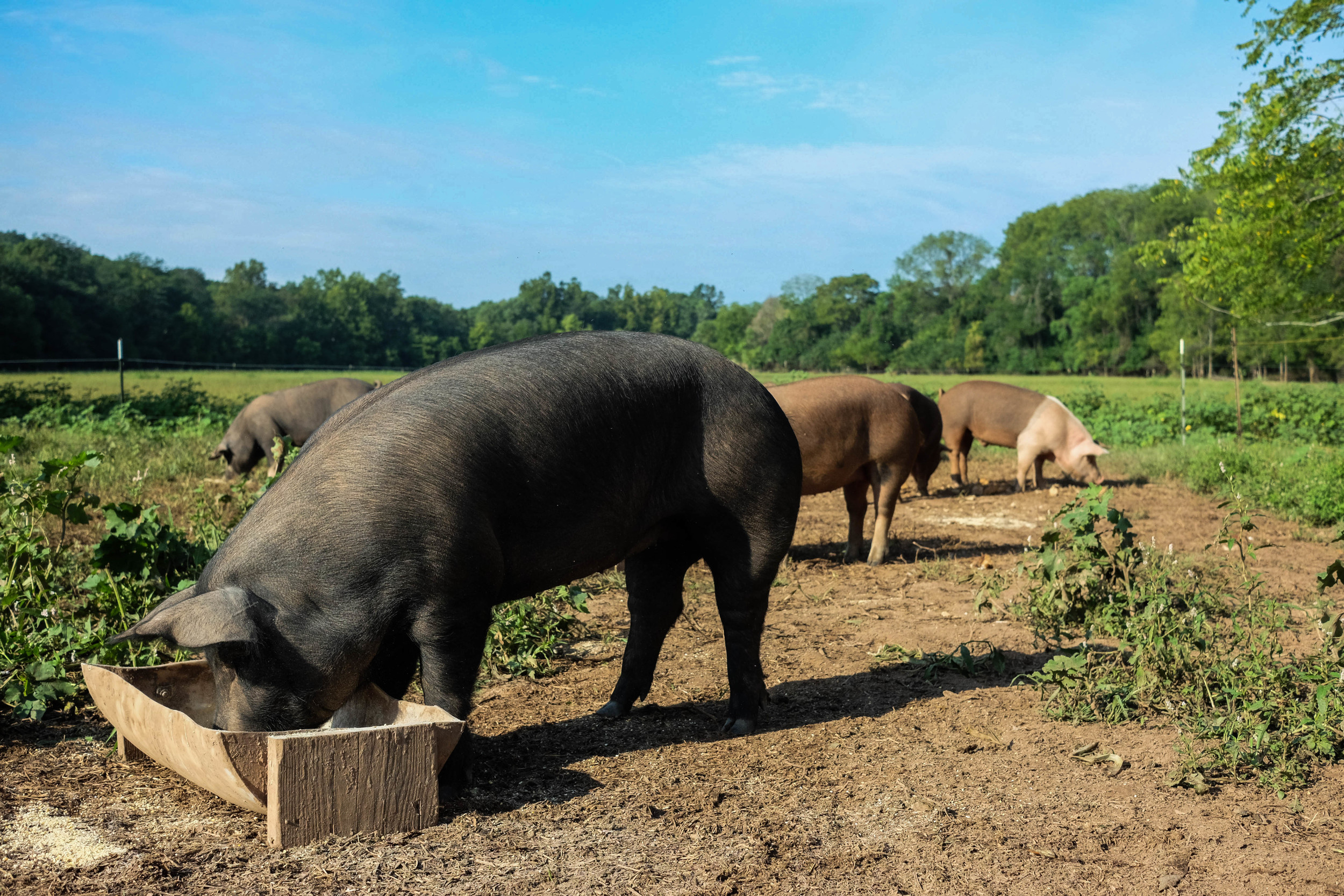 Local grass fed, organic porkers at Lima Family Farms. Photo by Derek Vaughan Brown