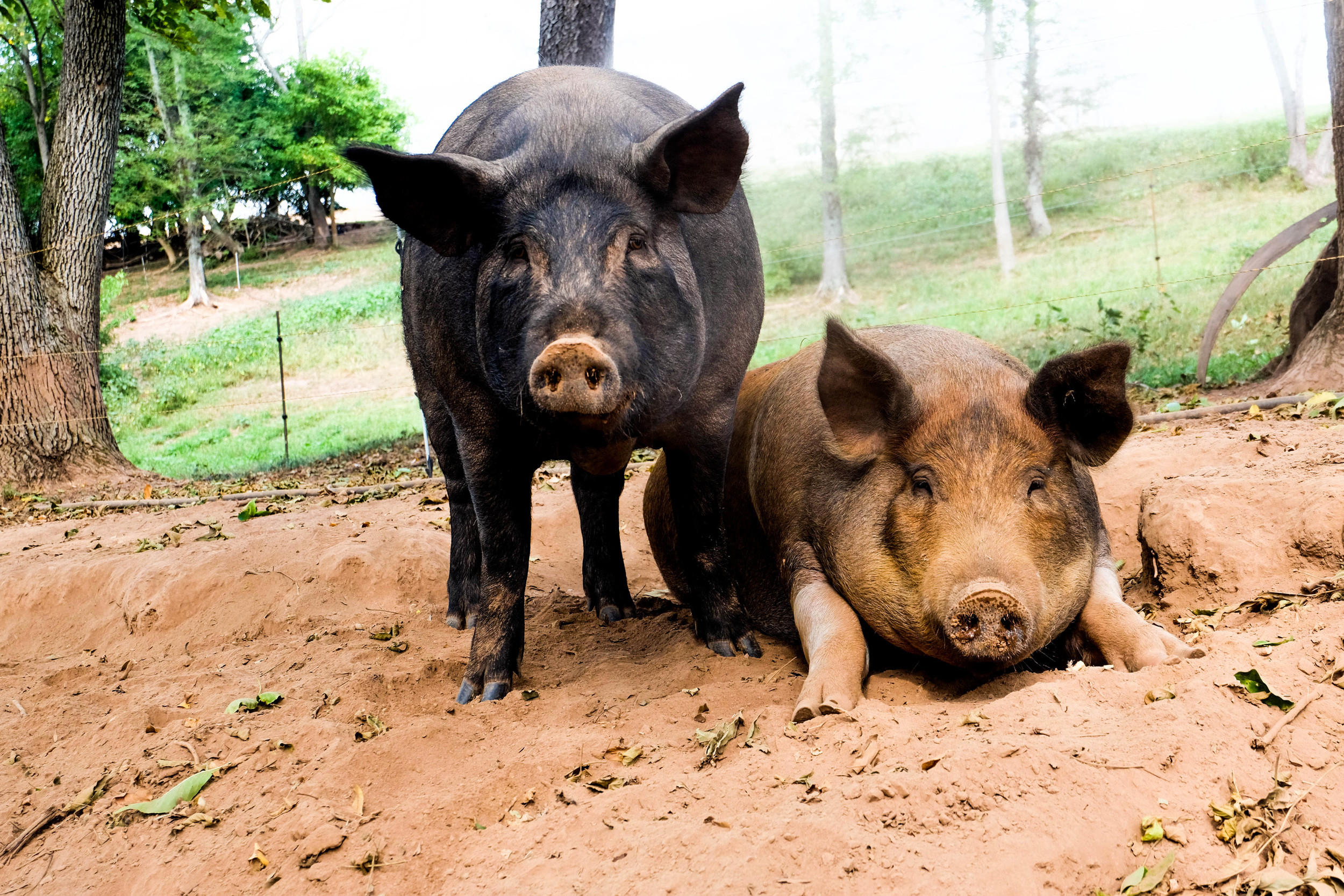 Wilma (Right) and her best friend Betty (Left) at Lima Family Farms. Photo by Derek Vaughan Brown