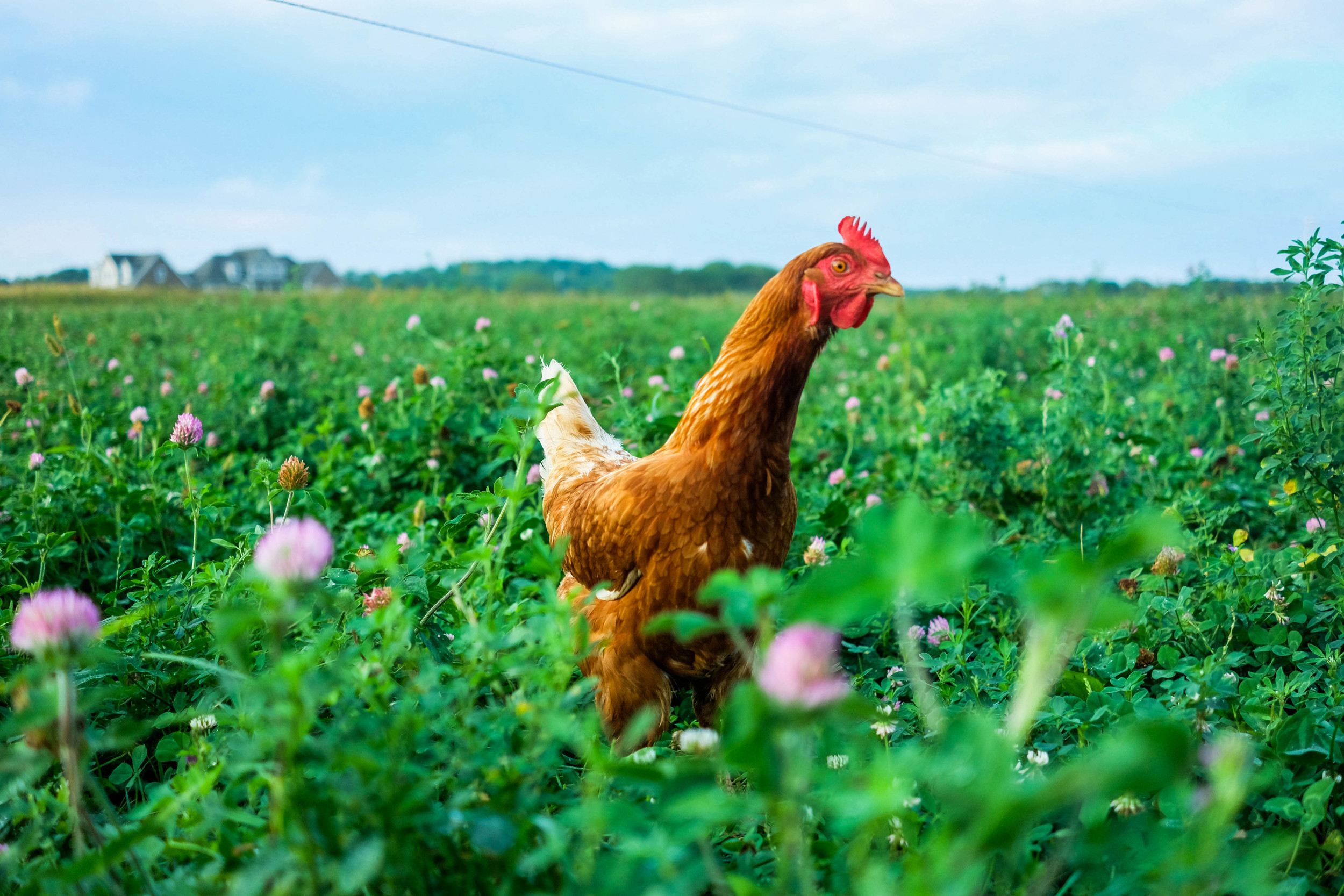 Free range laying hens at Lima Family Farms. Photo by Derek Vaughan Brown.