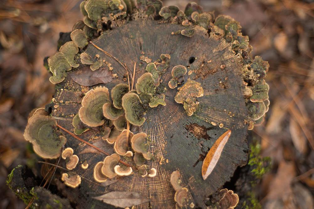 mushrooms on a tree stump :: december 2015