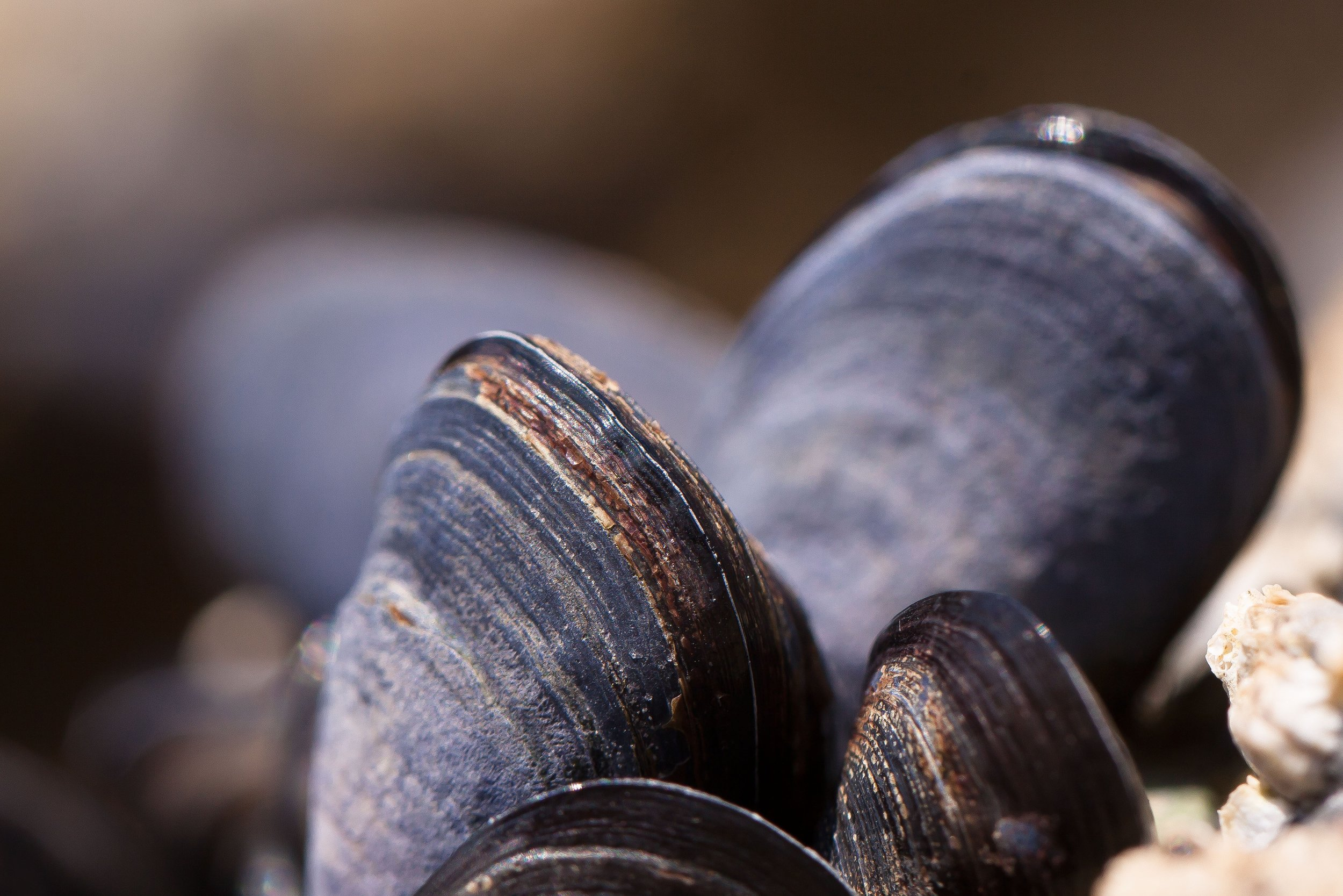mussels-shells-mytilus-watt-area-53131.jpeg