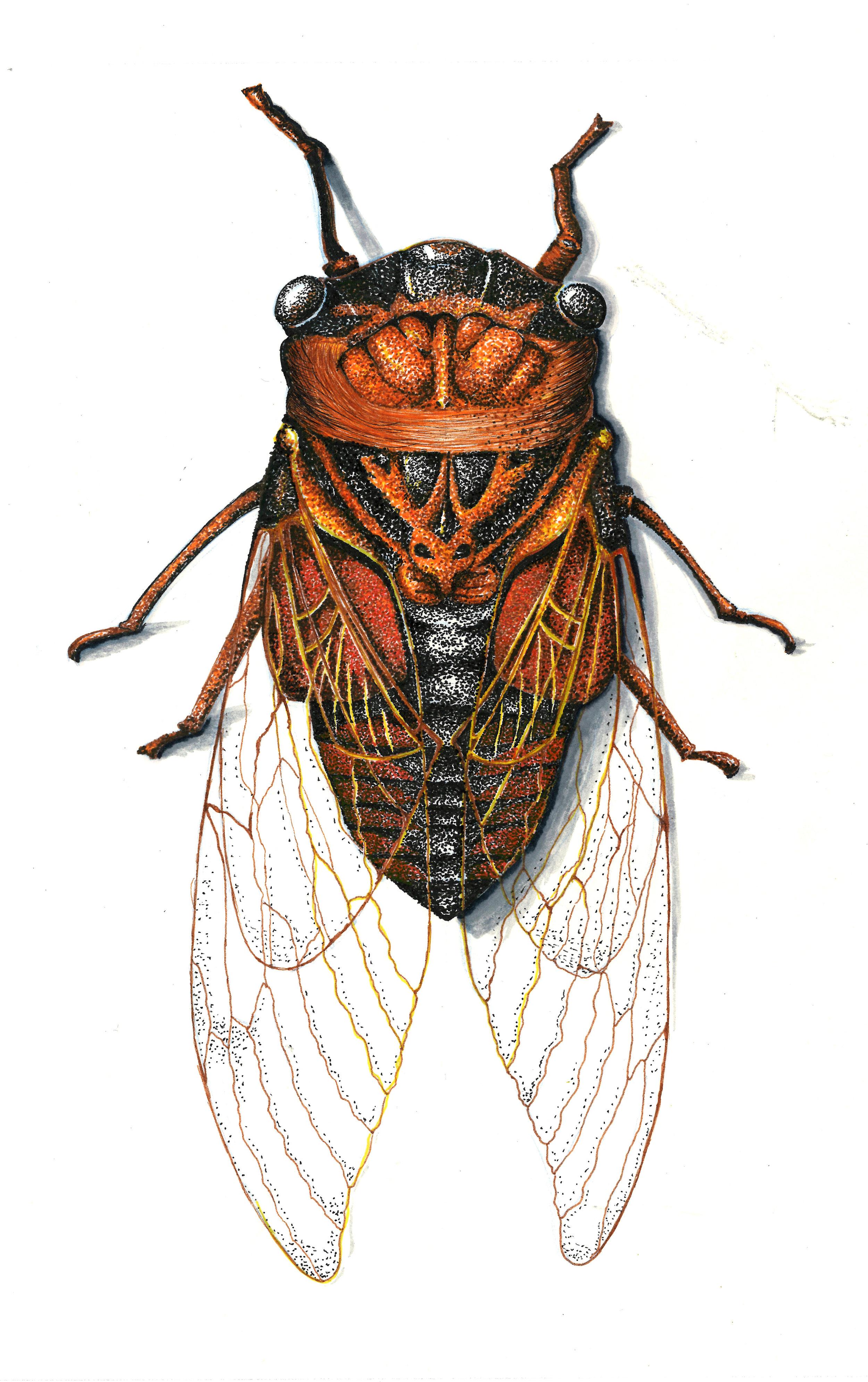 cicada_scan.jpg