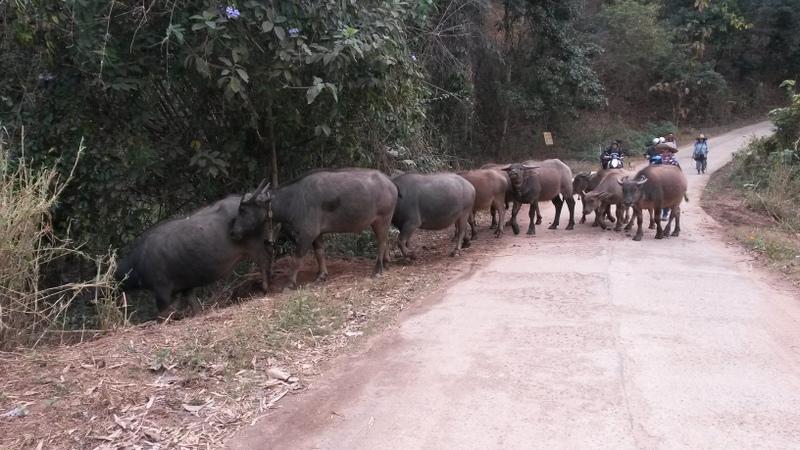 Wasserbüffel blockieren ganz frech die Strasse