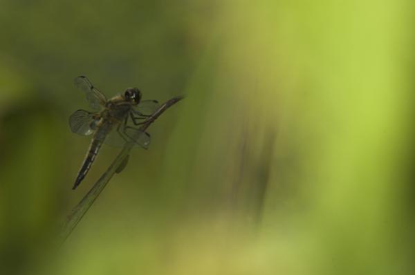 Dreamy Dragonfly