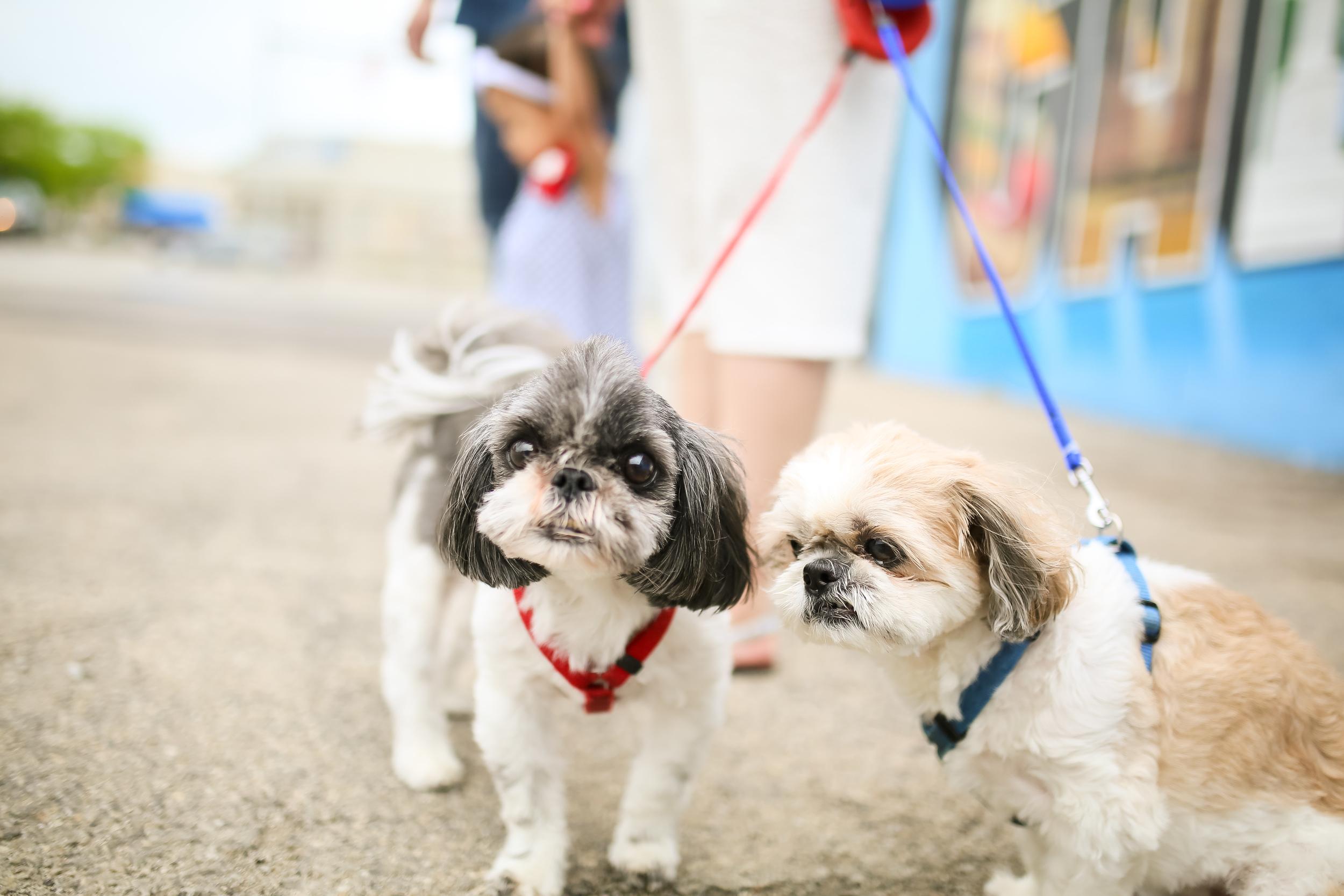 shitzu dogs