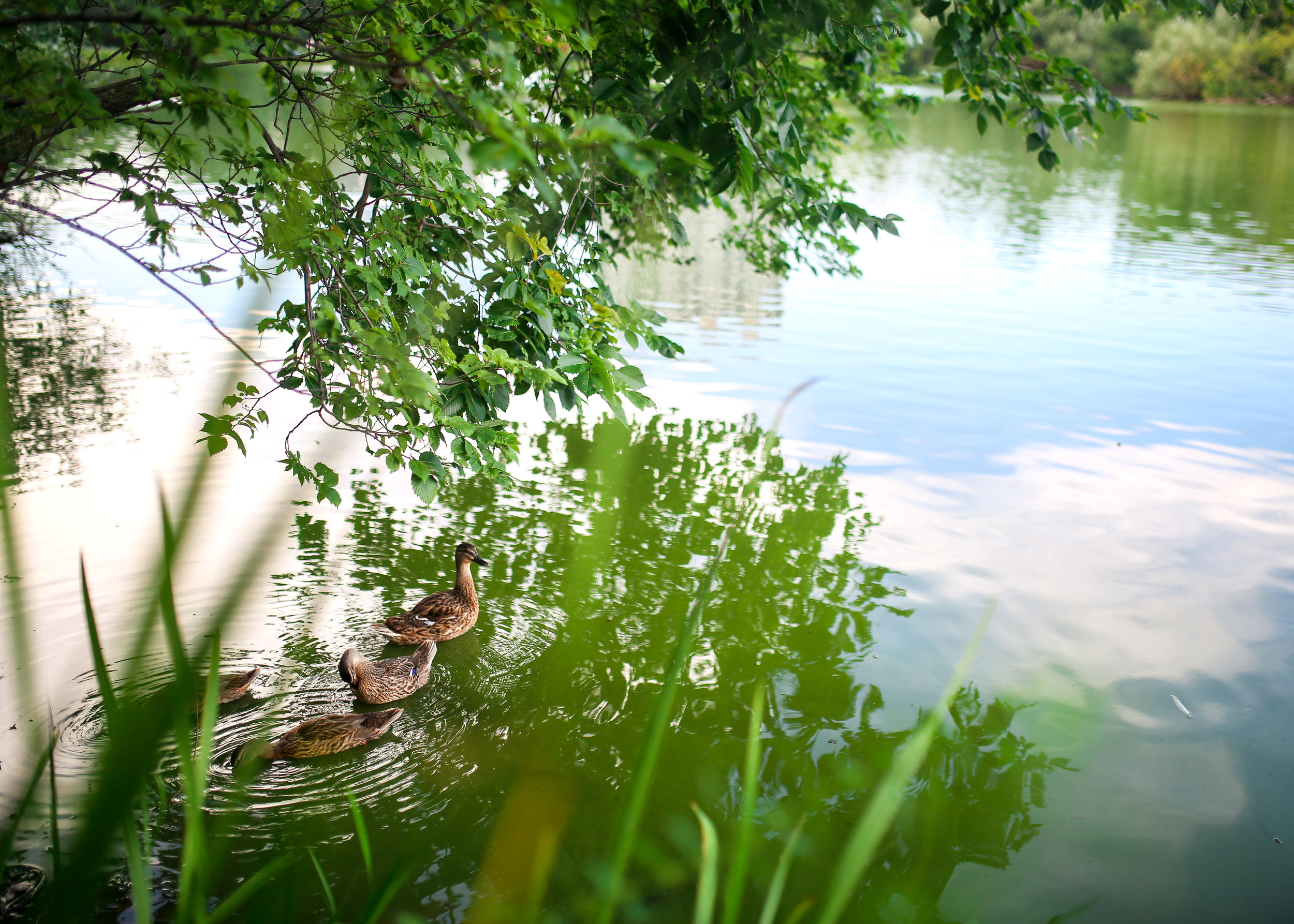 jenny grimm photography north pond lincoln park ducks