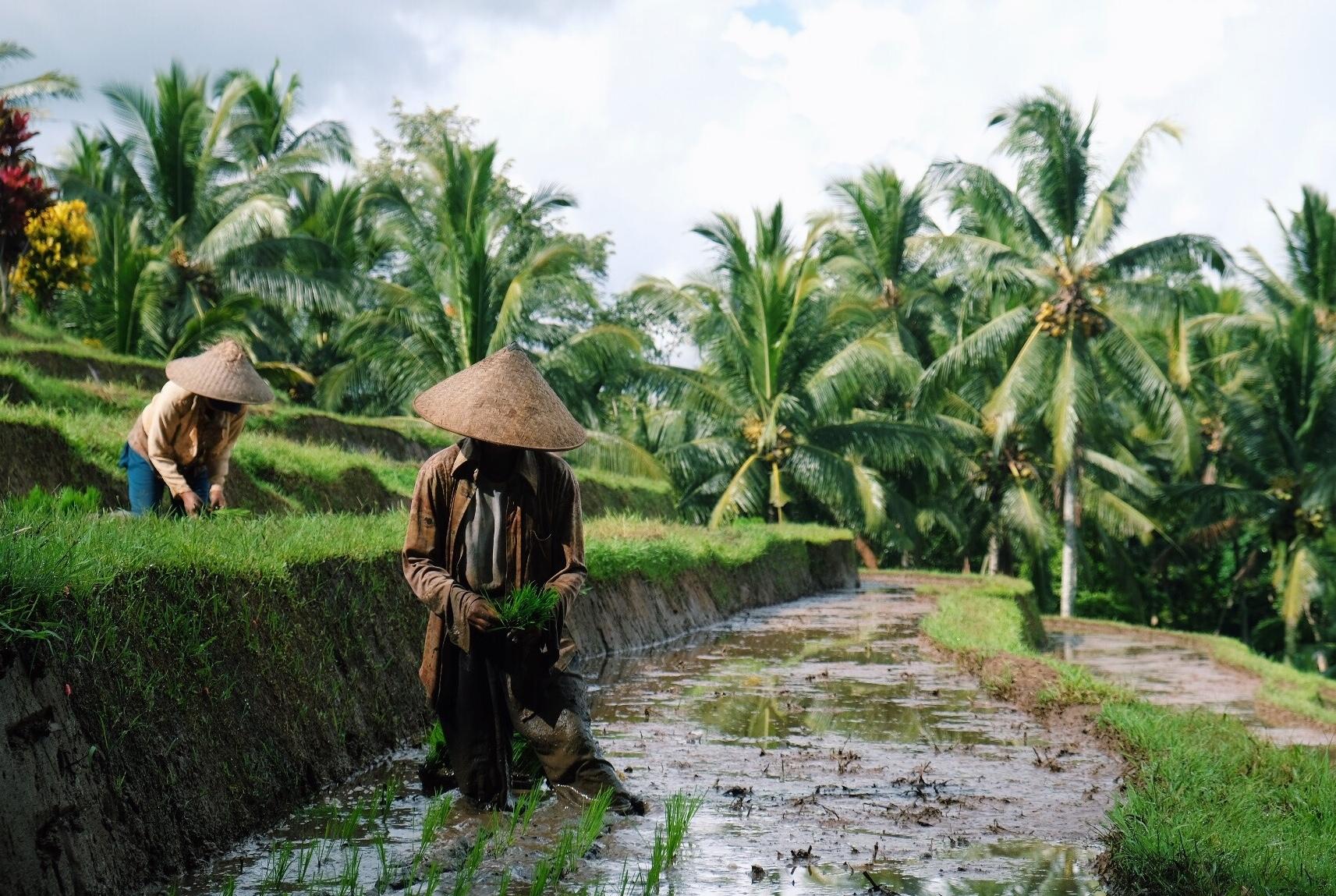 Rice planting in Megati, Bali.