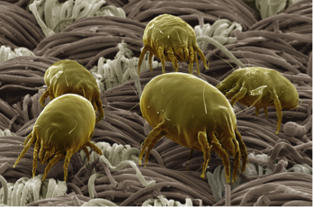 Image courtesy of: http://www.valecarpetcleaning.com/carpet-dust-mites/