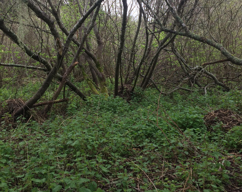 nettleforest