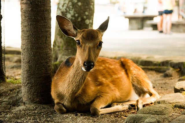 Miyajima island has lots of photogenic deers on it.  #deer #contiki #contikitonz #noregrets #japanunrivalled #shoot2kill #animal #japan #miyajima