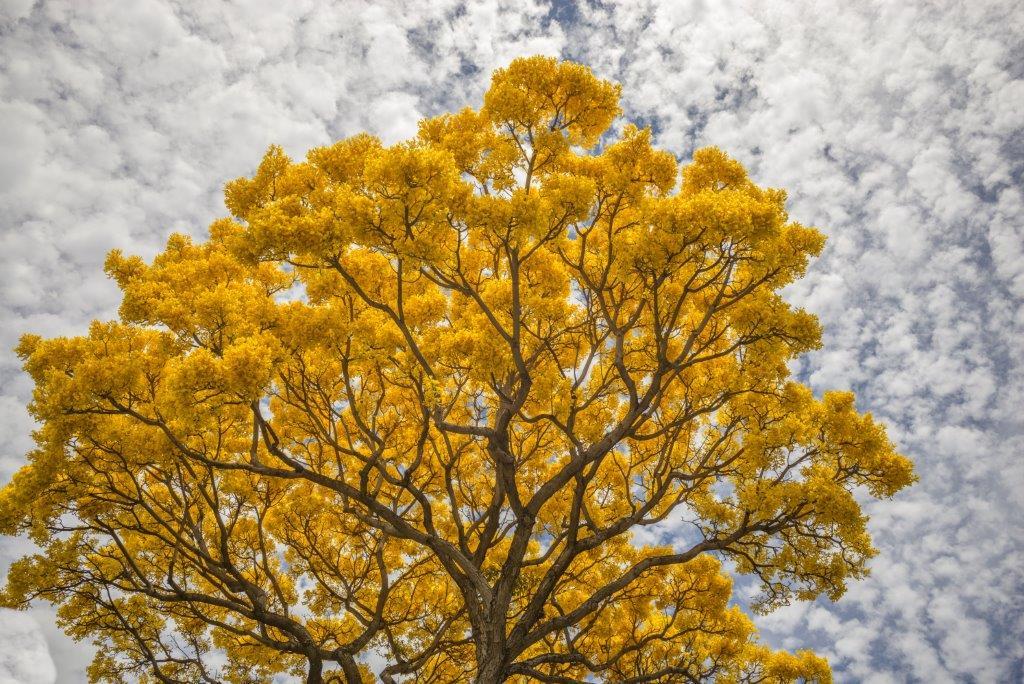 Acacia Tree - Hera Forest