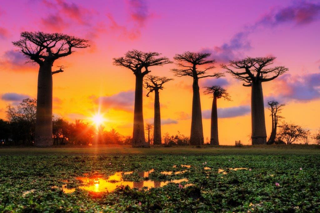 Baobabs - The Hera Forest