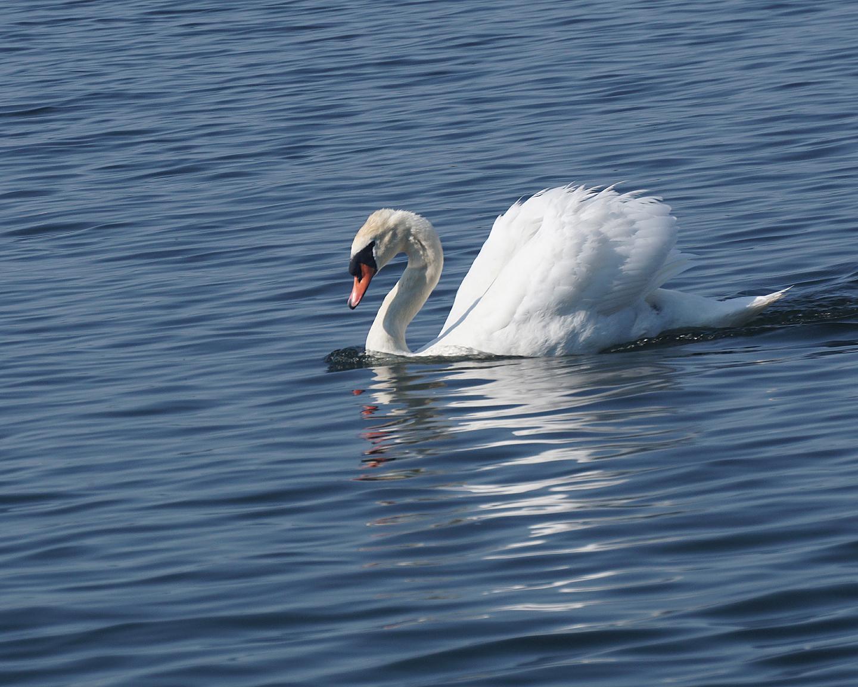 Summer swan (photography)