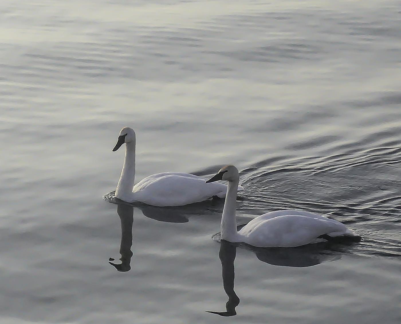 Swan Couple (photography)