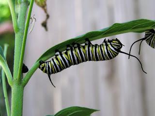 monarchpug.jpg