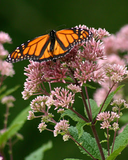 monarchpye.jpg