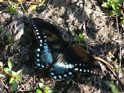 Papilio_troilus_Linne.jpg