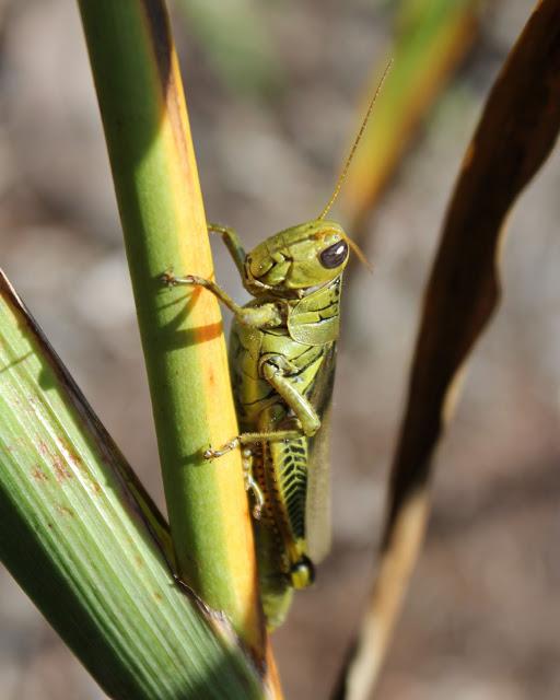 grasshop.jpg