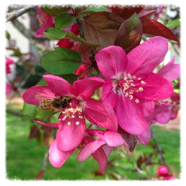 Malus   (crabapple) with honeybee