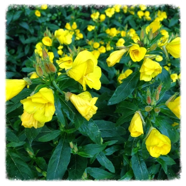 Oenothera   (common evening primrose)