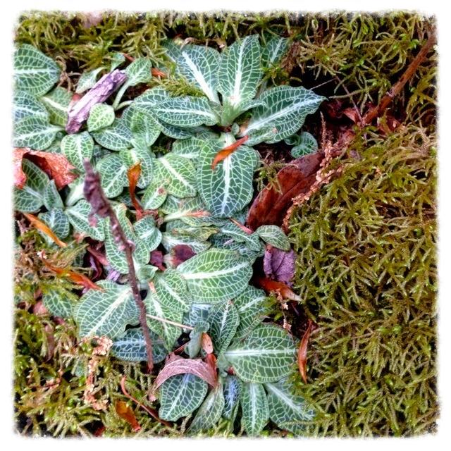 Goodyera pubescens  , Downy Rattlesnake Plantain