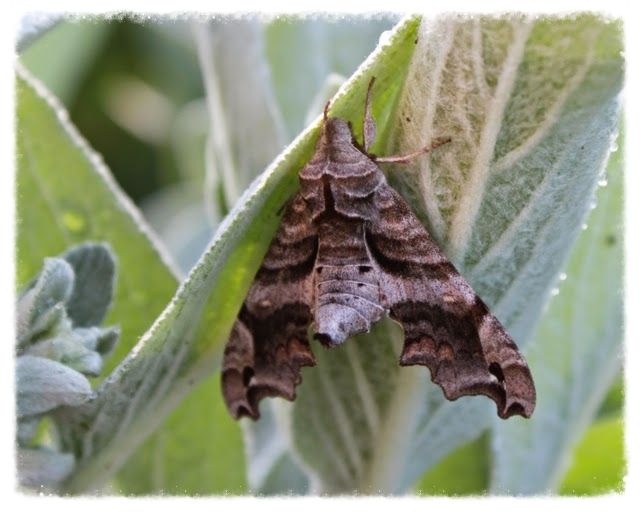 Newly emerged Lettered Sphinx moth