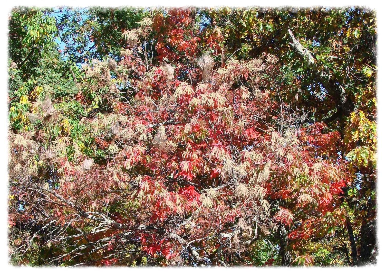 Female sourwood tree at peak bloom. Photo from the Blue Ridge Parkway.