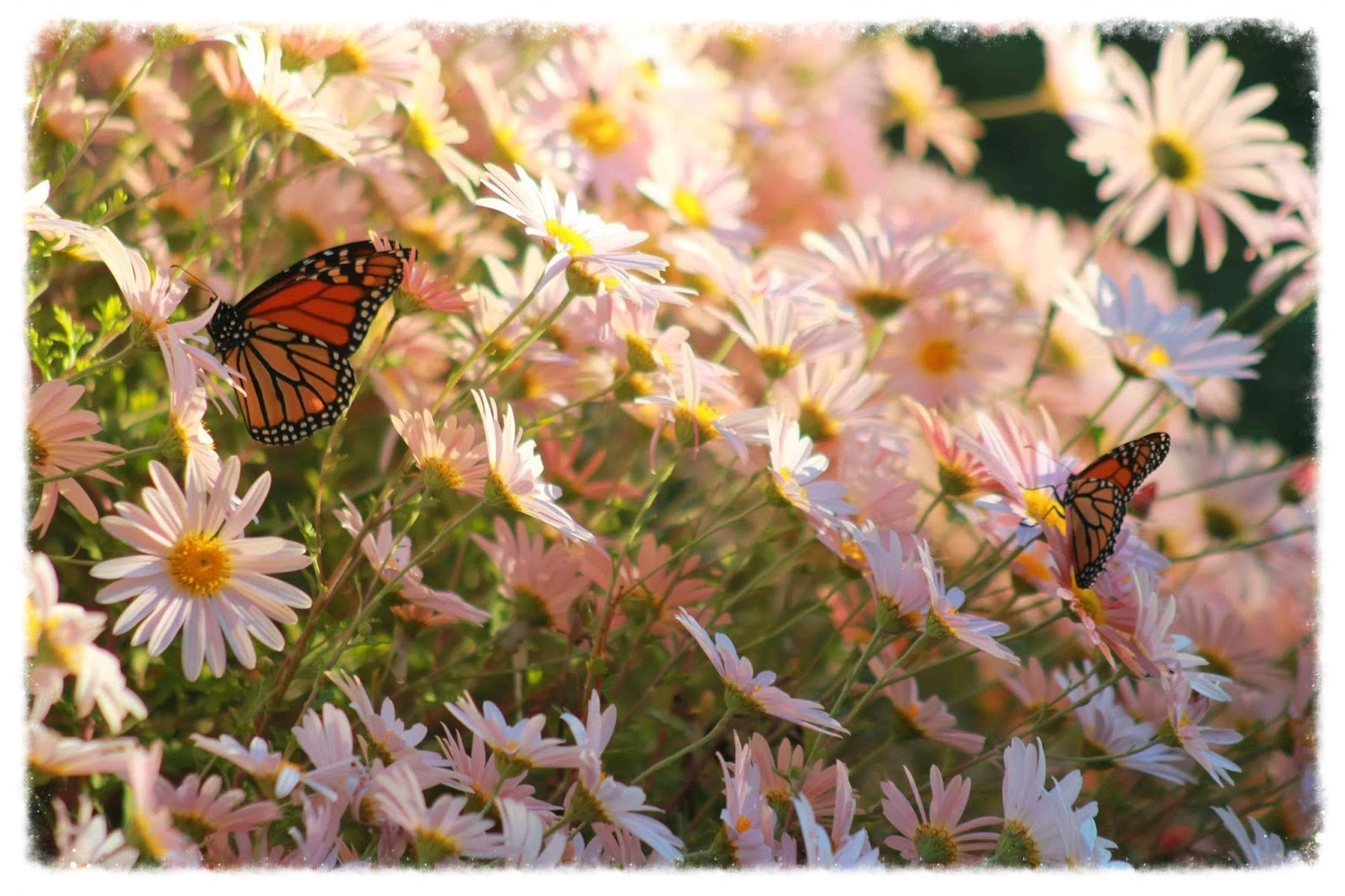 Two monarchs on a large pile of open-form mums.