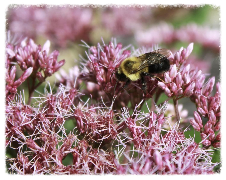 Native bumblebee on native JoePye Weed