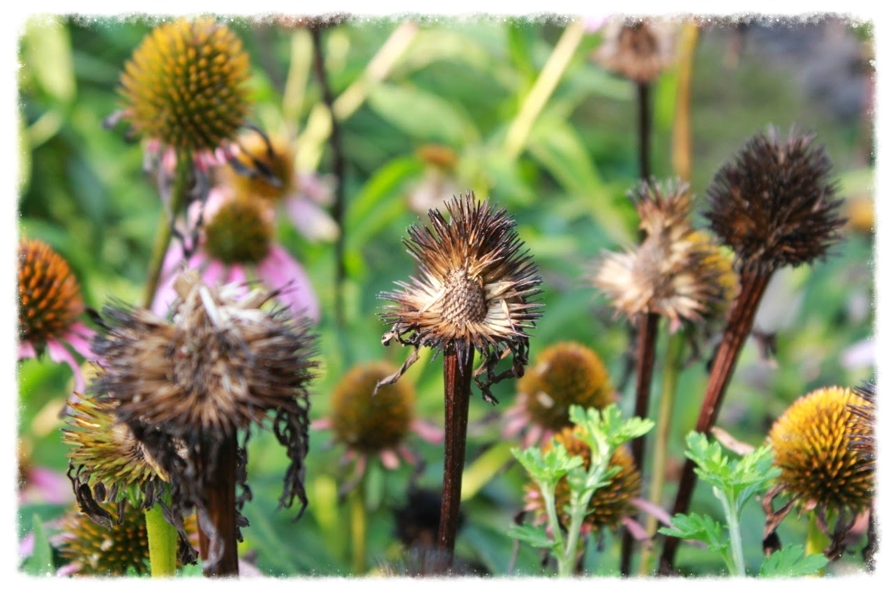 Coneflower seed heads being dined on by goldfinches.