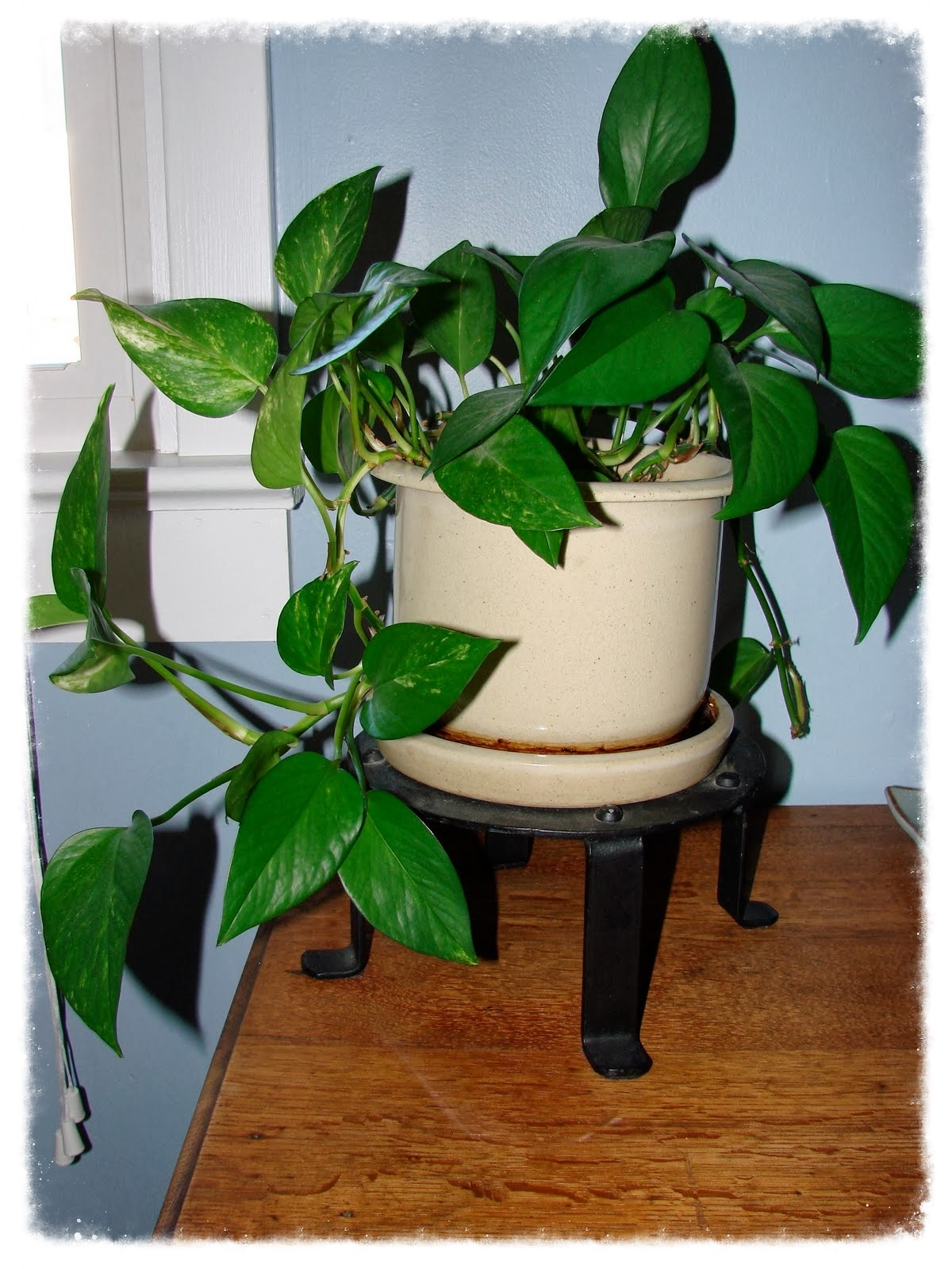 Ever-growing Philodendron