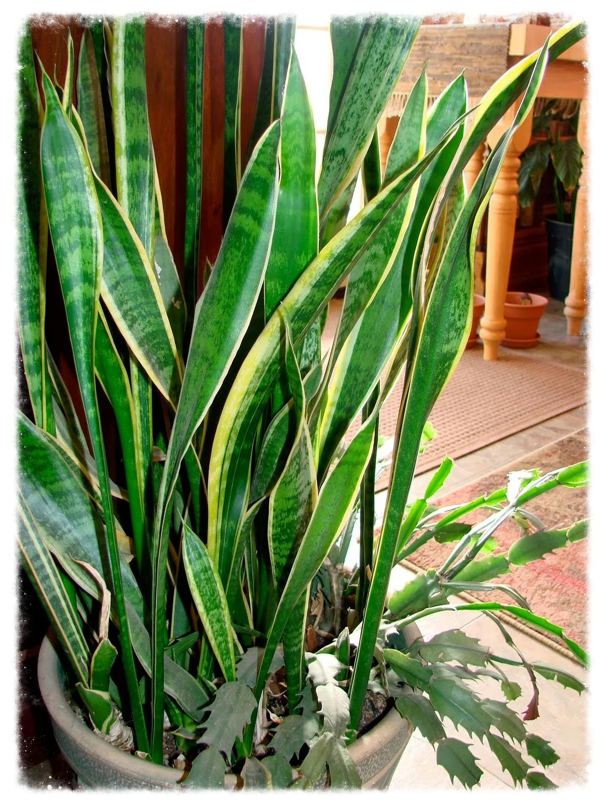 Sanseveria--Snake Plant