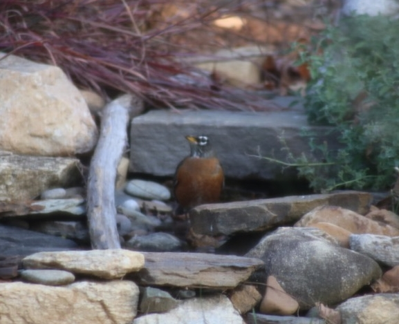 An American Robin explores the source of the sound of running water.