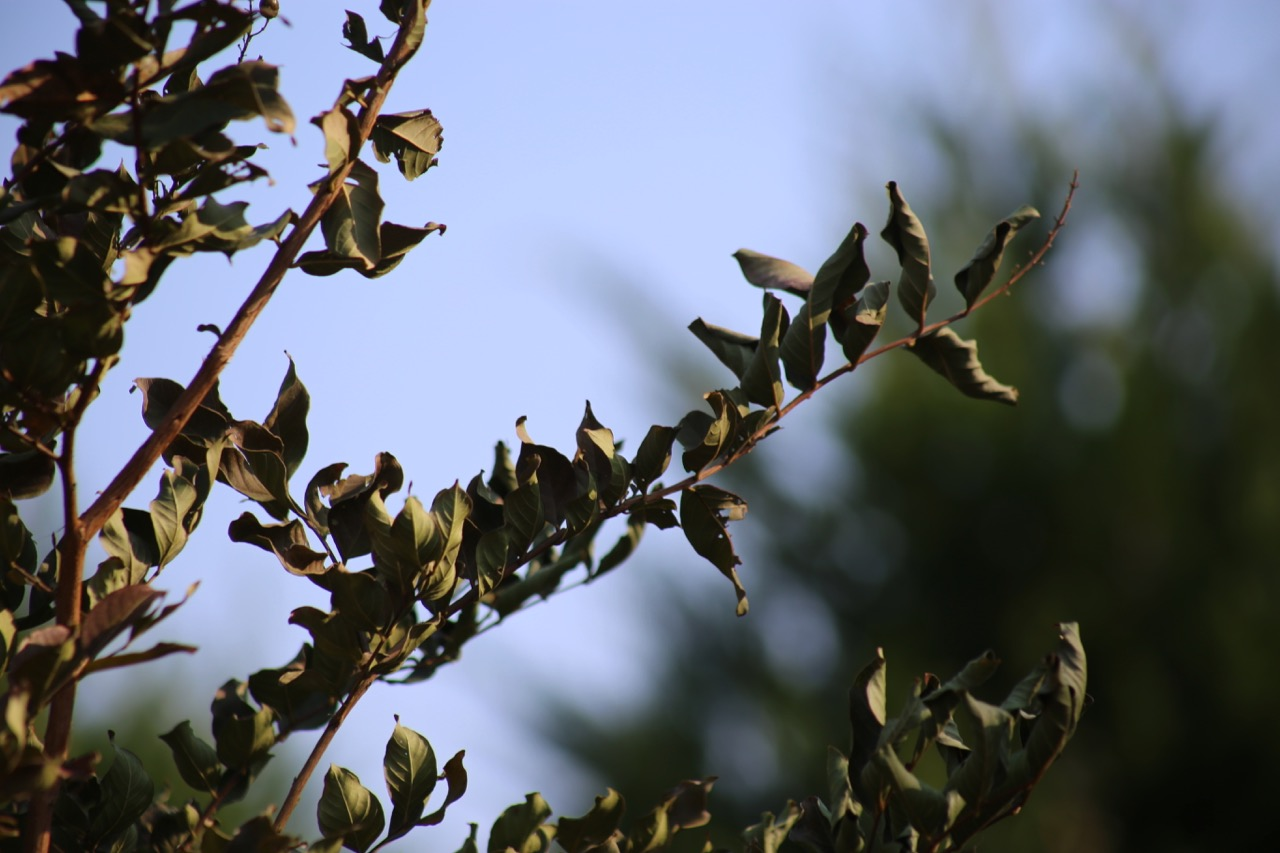 """Crispy"" leaves, as opposed to colored leaves ready to fall, indicate the stress of this crape myrtle."