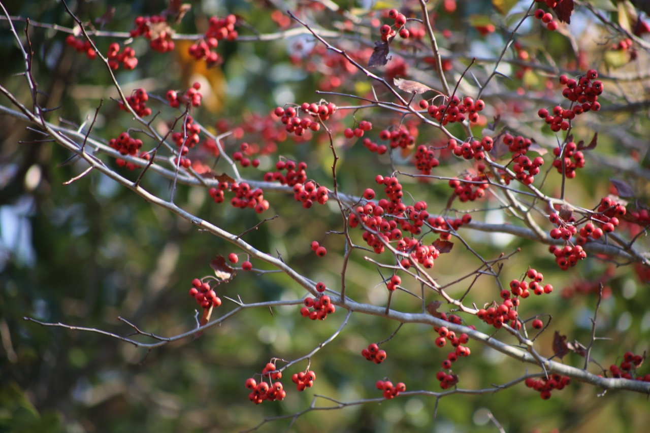 Winter King Hawthorne tree, covered in berries.