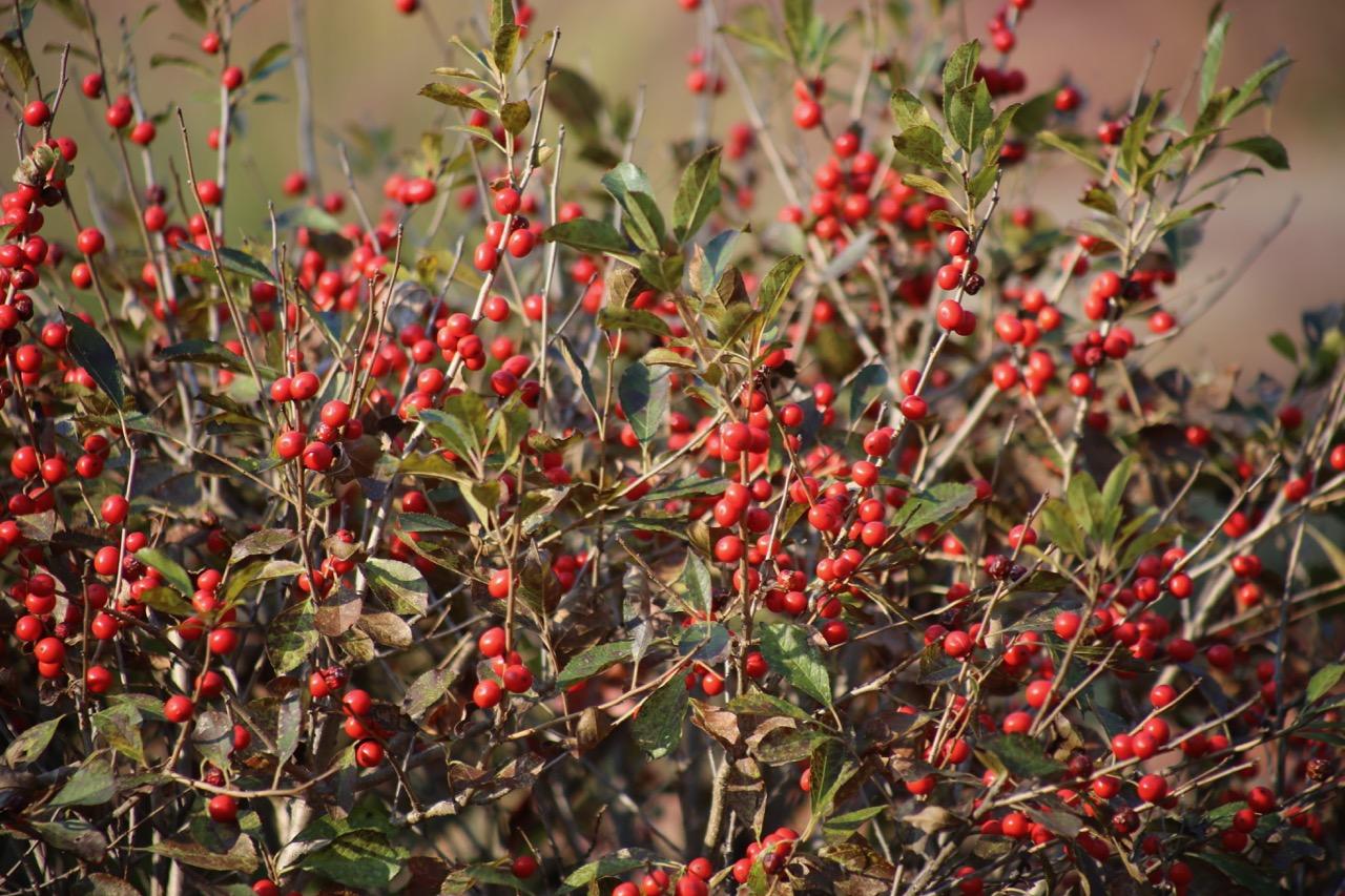 """Winterberry Holly (deciduous holly shrub, cultivar, """"Red Sprite"""""""