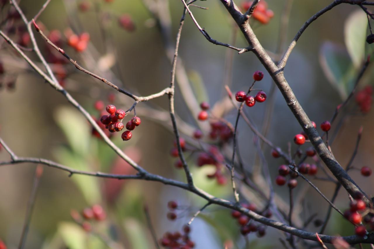 Red Chokeberry -- Aronia arbutifolia -- a big favorite with songbirds