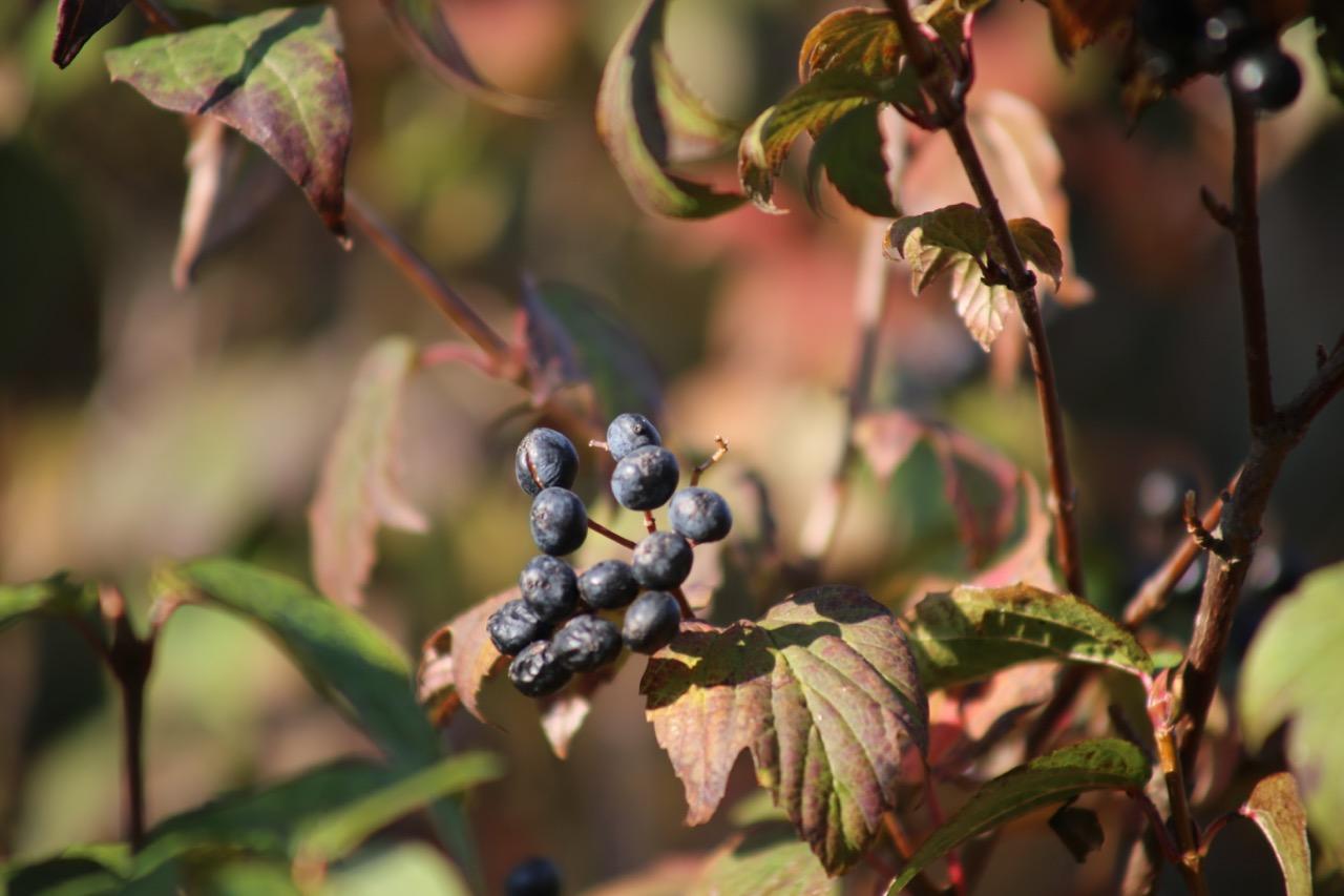 Maple-leaf viburnum (Viburnum acerifolium) -- pollinated by flies