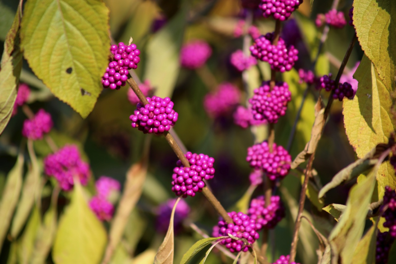 American Beautyberry -- a huge favorite with mockingbirds and robins