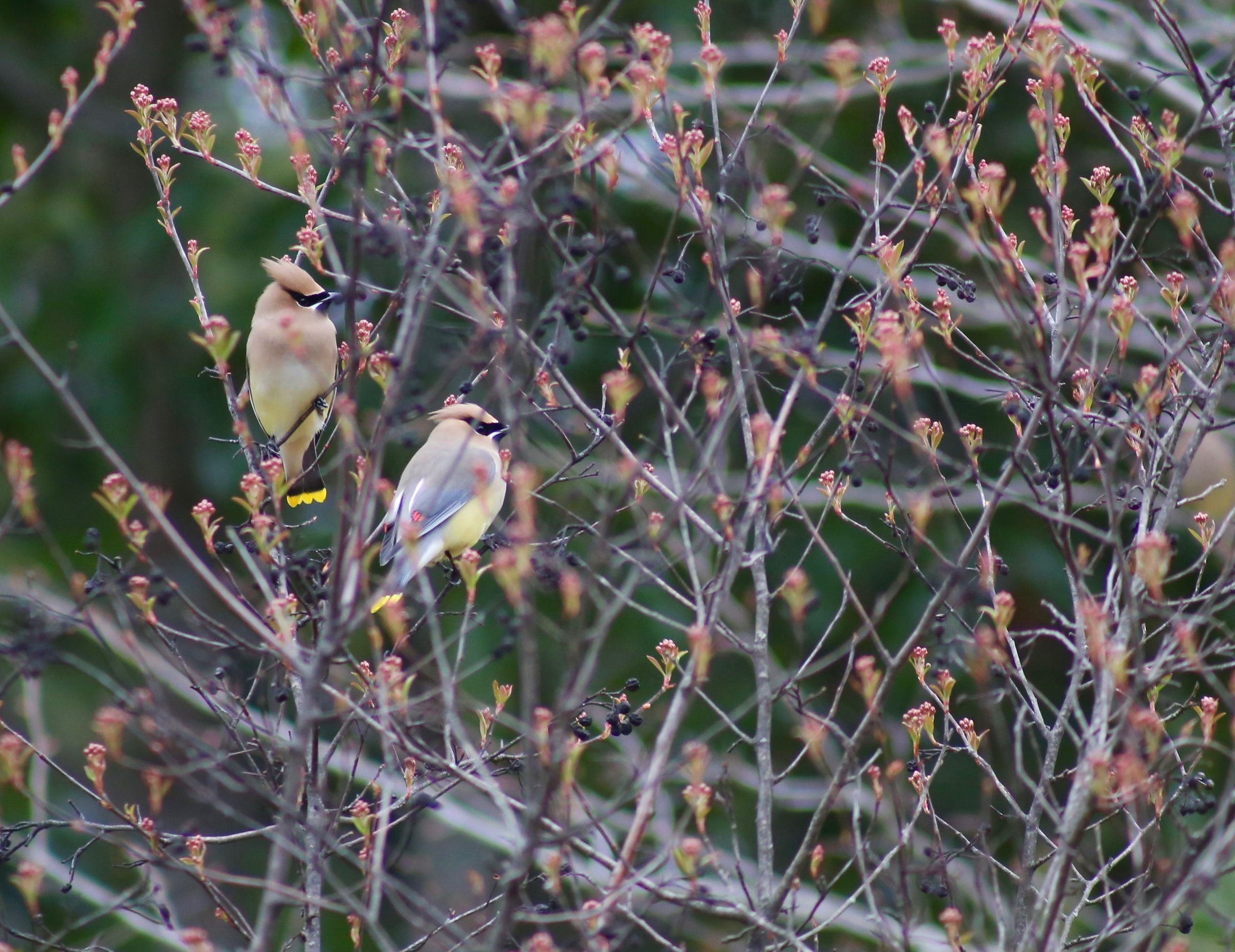 Bombycilla cedrorum on Aronia arbutifolia