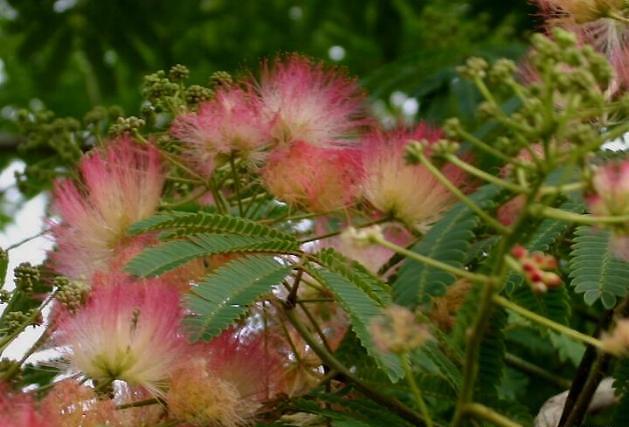 Mimosa Tree ( Albizia julibrisin )