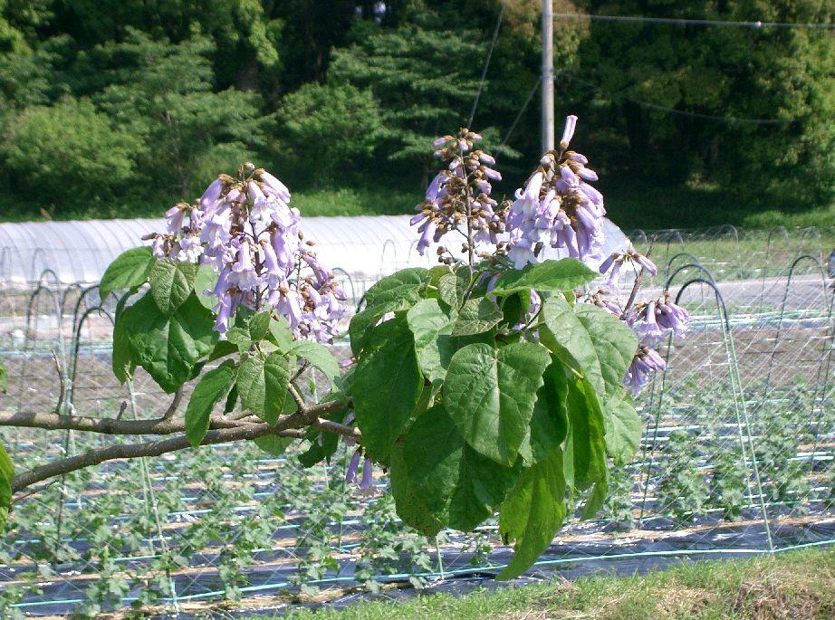 Princess Tree ( Paulonia tormentosa)